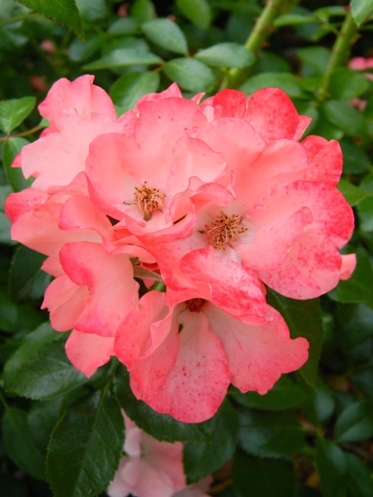 Pink shrub rose by garden muses-not another Toronto gardening blog