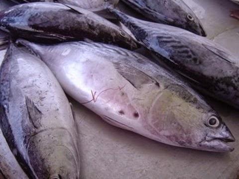 Ciri-Ciri Memilih Ikan Tongkol Yang Segar