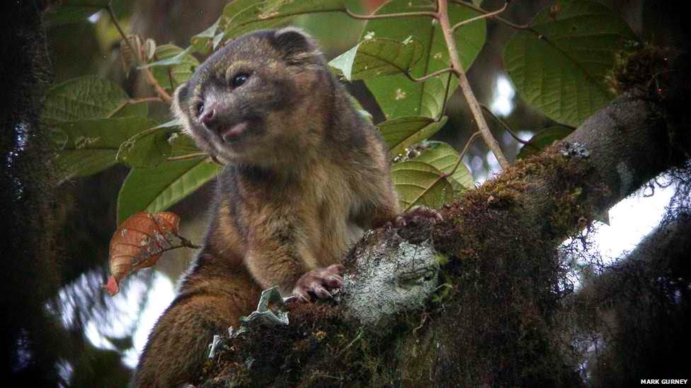 Bassaricyon neblina (olinguito/racoon)