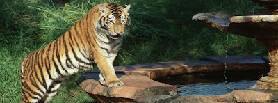 Couverture facebook tigre