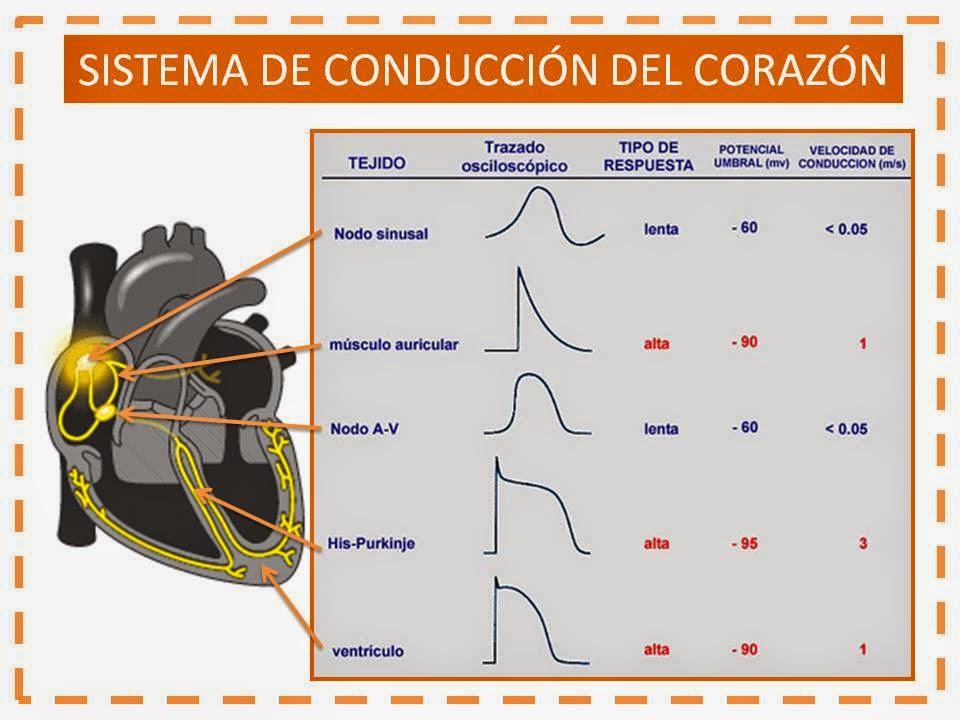 Blog del Internista: Resumenes de Cardiología III - Sistema de ...