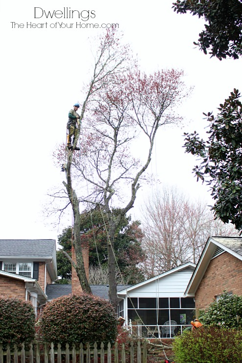 maple tree being cut down