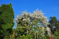 Kirschbaum in Nachbars Garten...