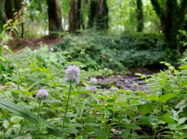 Water mint  amongst nettles and brambles on bank of Dickerson's Pit