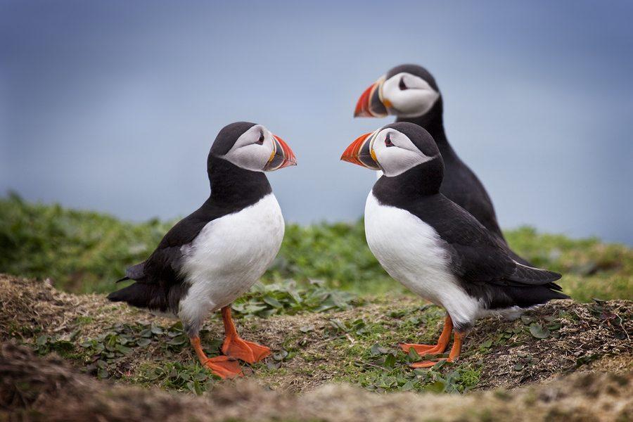 بالصور ..البفن طائر عجيب يشعر بالذنب ويحزن كالانسان %D8%AE%D8%AE%D8%AE%D
