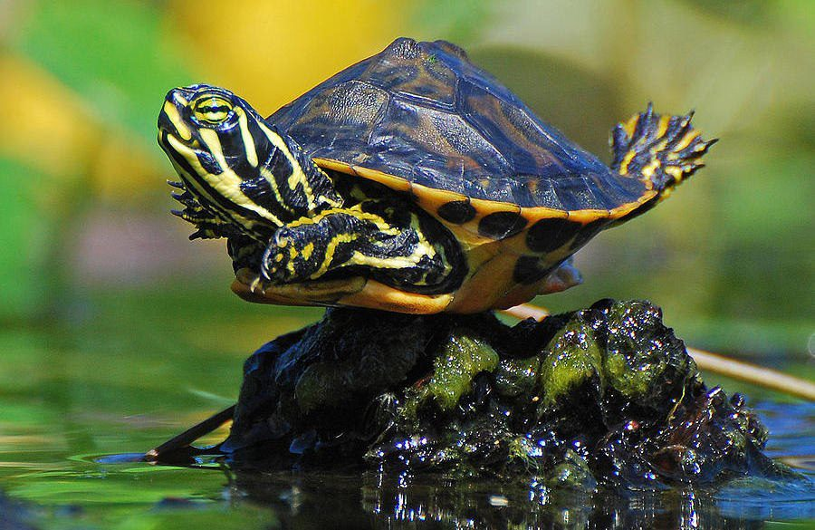 Factsram.blogspot: Pond Slider Turtle.