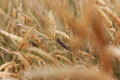 Grasshoppers on a grass tiller