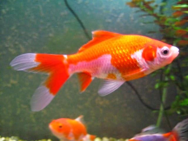 Kriss vela goldfish for Peces goldfish tipos