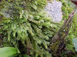 Hepáticas (Marchantiophyta)