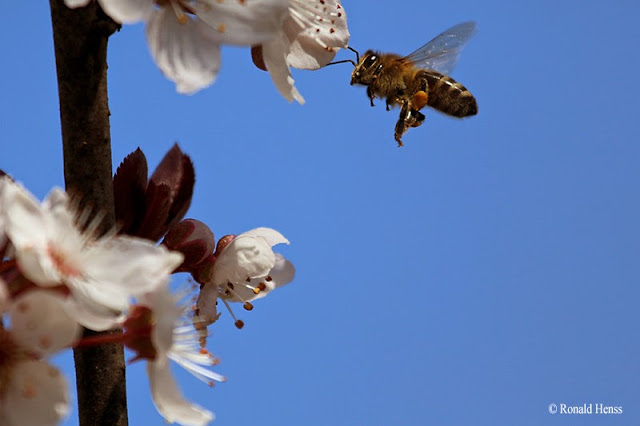 Insekten Biene im Flug
