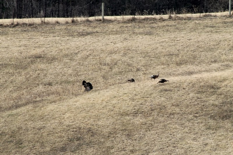 wild turkeys at the Little Farm