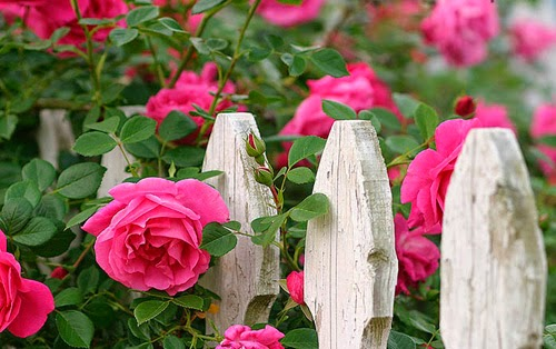 Thích hợp trồng ở hàng rào trước cổng hoặc ở khoảng sân đầy nắng