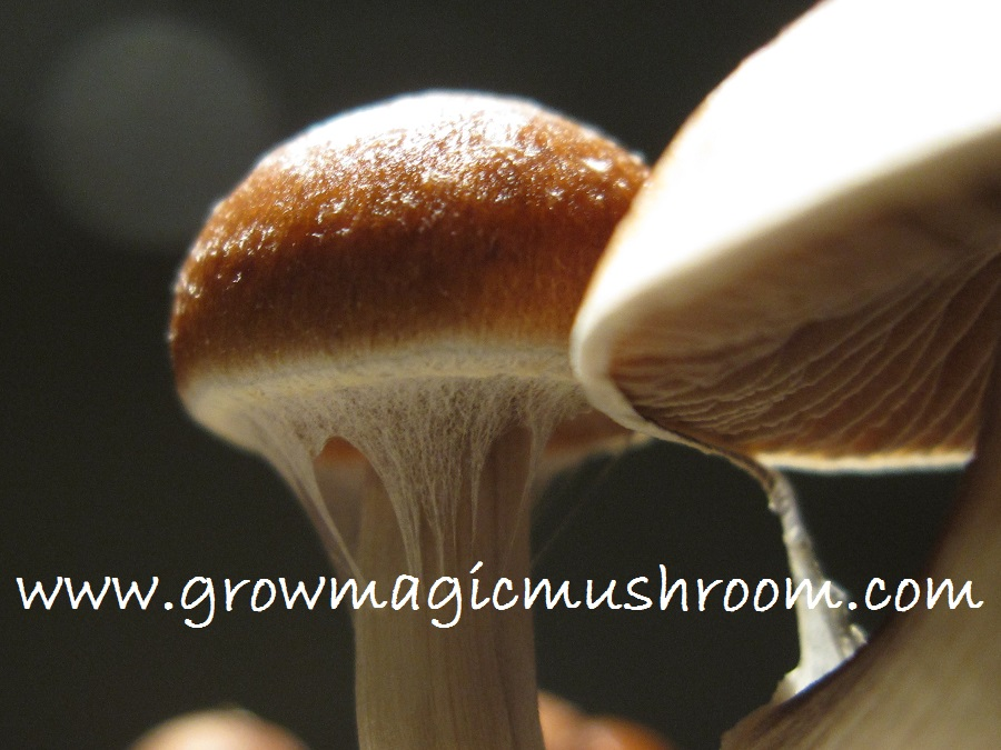 growing magic mushrooms at home