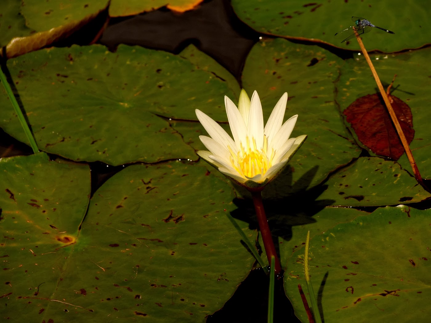 Water Lily (Nymphaeaceae) nature photography