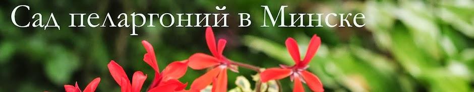 Сад пеларгоний в Минске