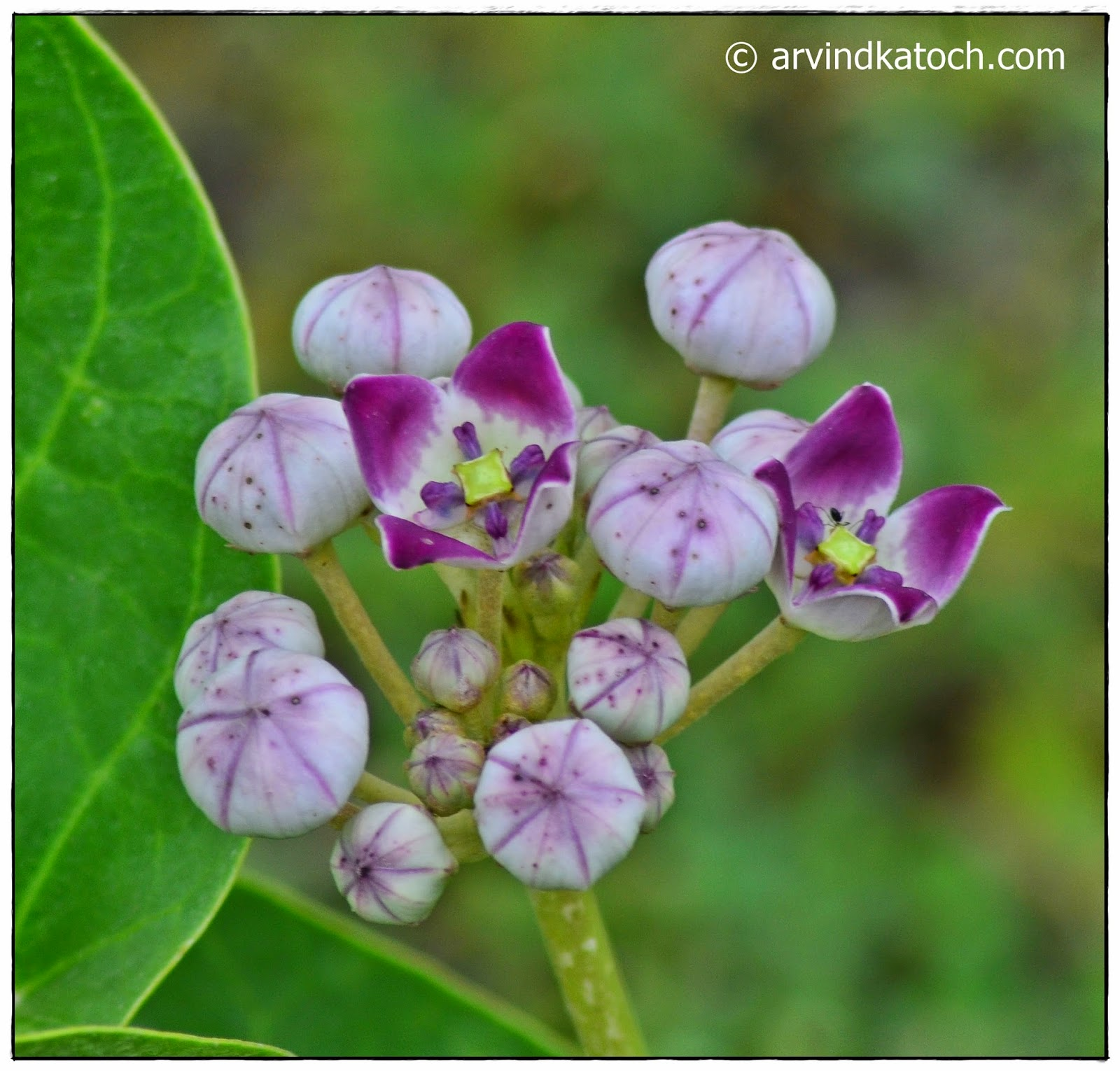 Beautiful Flower, Forest flower, Punjab, Wild Flower