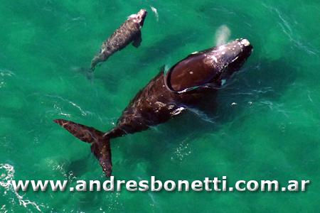 Ballena Franca Austral juanto a su ballenato - Southern Right Whale with their baby whale - Península Valdés - Patagonia - Andrés Bonetti