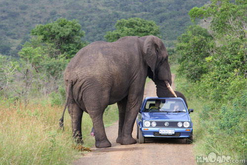 Dangerous animal attacks in the african savannah wild elephants animal
