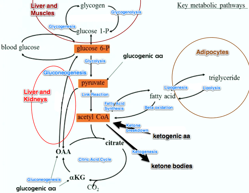 citric acid cycle aerobic metabolism image collections