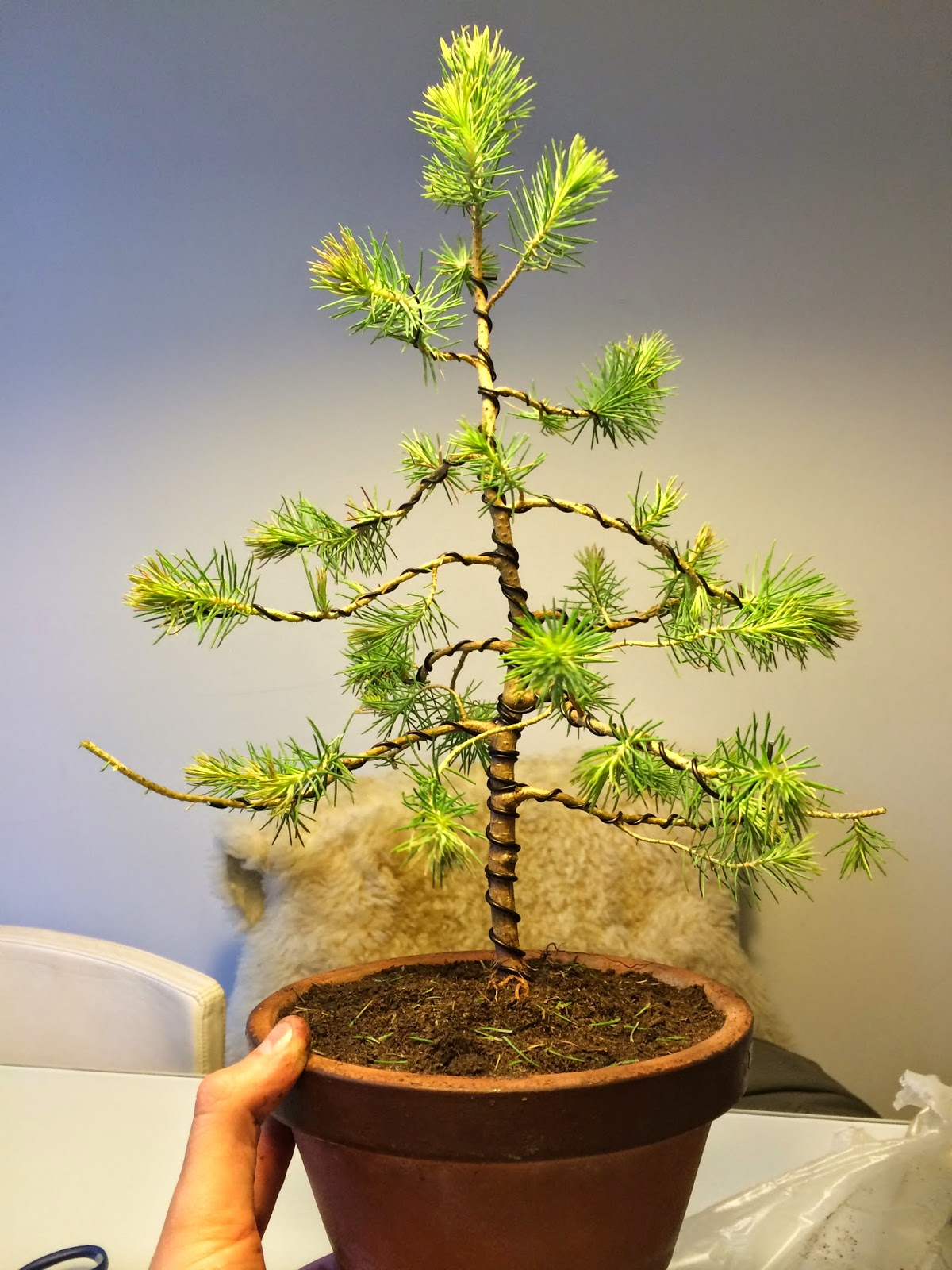 NORDIC NEBARI By Kenneth Olsen Bonsai Made Of A 4 Euro Tree 2
