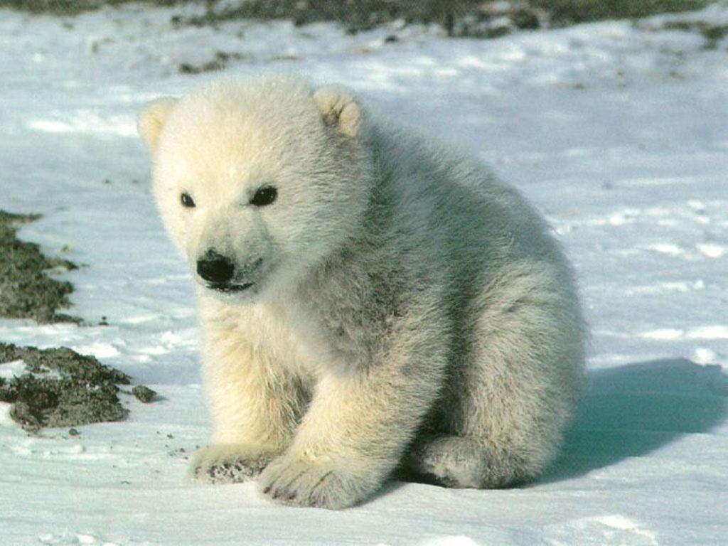 http://4.bp.blogspot.com/--3d5NUwf0gM/T4YjKcajQ8I/AAAAAAAAHAo/K3SgRJEozR0/s1600/polar_bear_cub_wallpaper-1024x768.jpg