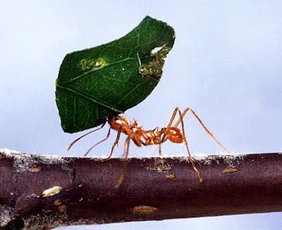 gambar semut terkuat