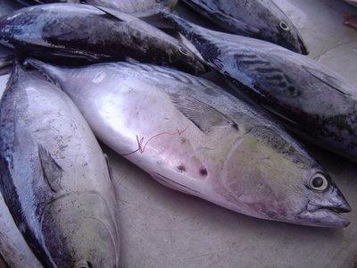 ikan tongkol segar