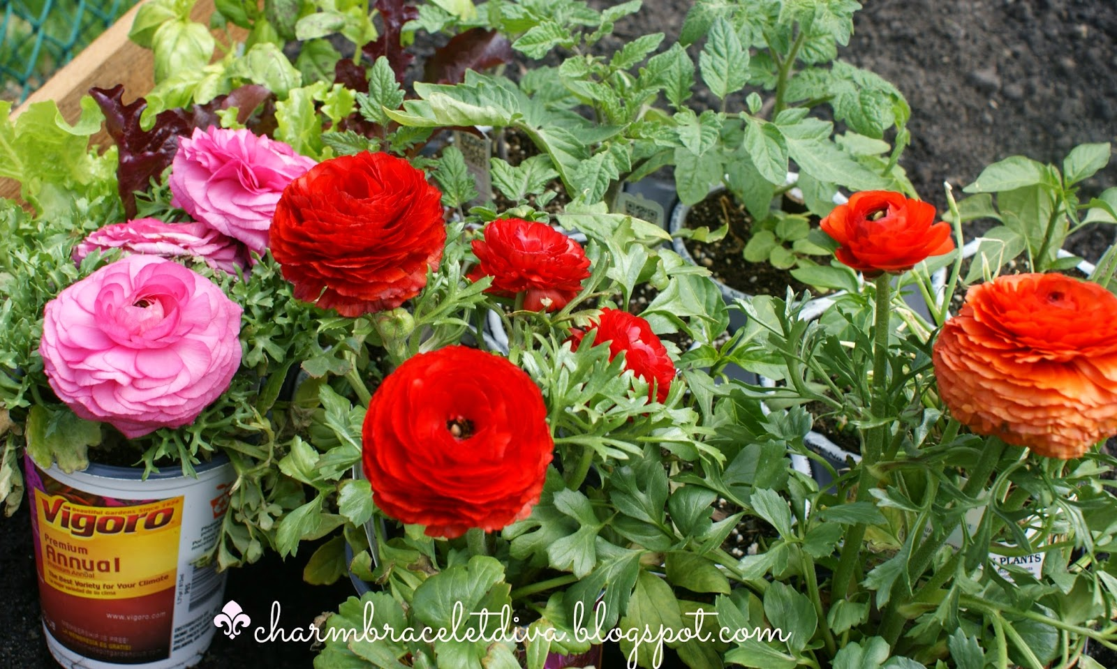 pink, red and orange garden ranunculas