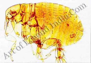 The carrier, The classic carrier of the plague is the Indian rat flea, which becomes infective when it feeds from plague-stricken rats, and then transmits the disease to man.
