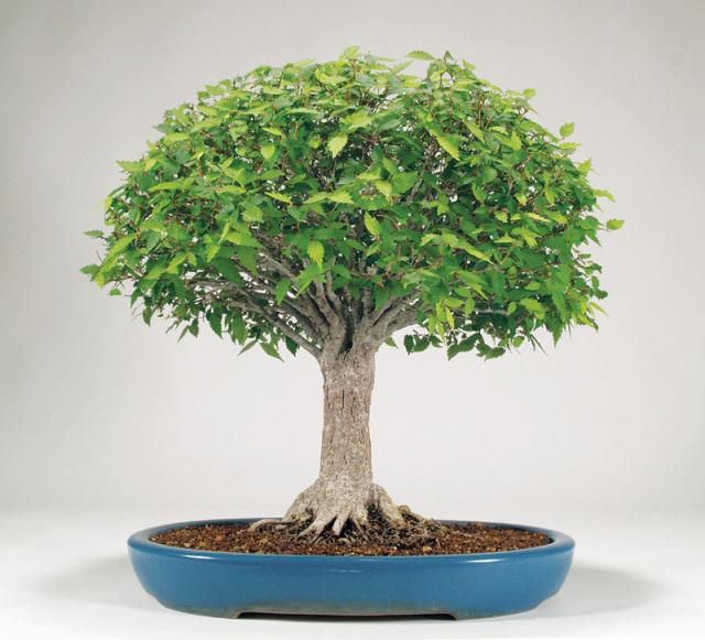 Bunjin bonsai n o estilos de bonsai con un solo tronco for Different kinds of bonsai trees