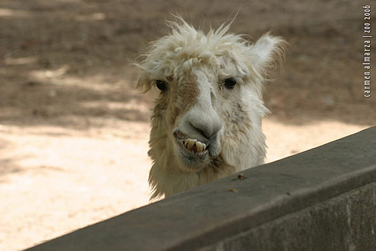 Hilarious Llama Pictures Funny Animal: 09/04/11