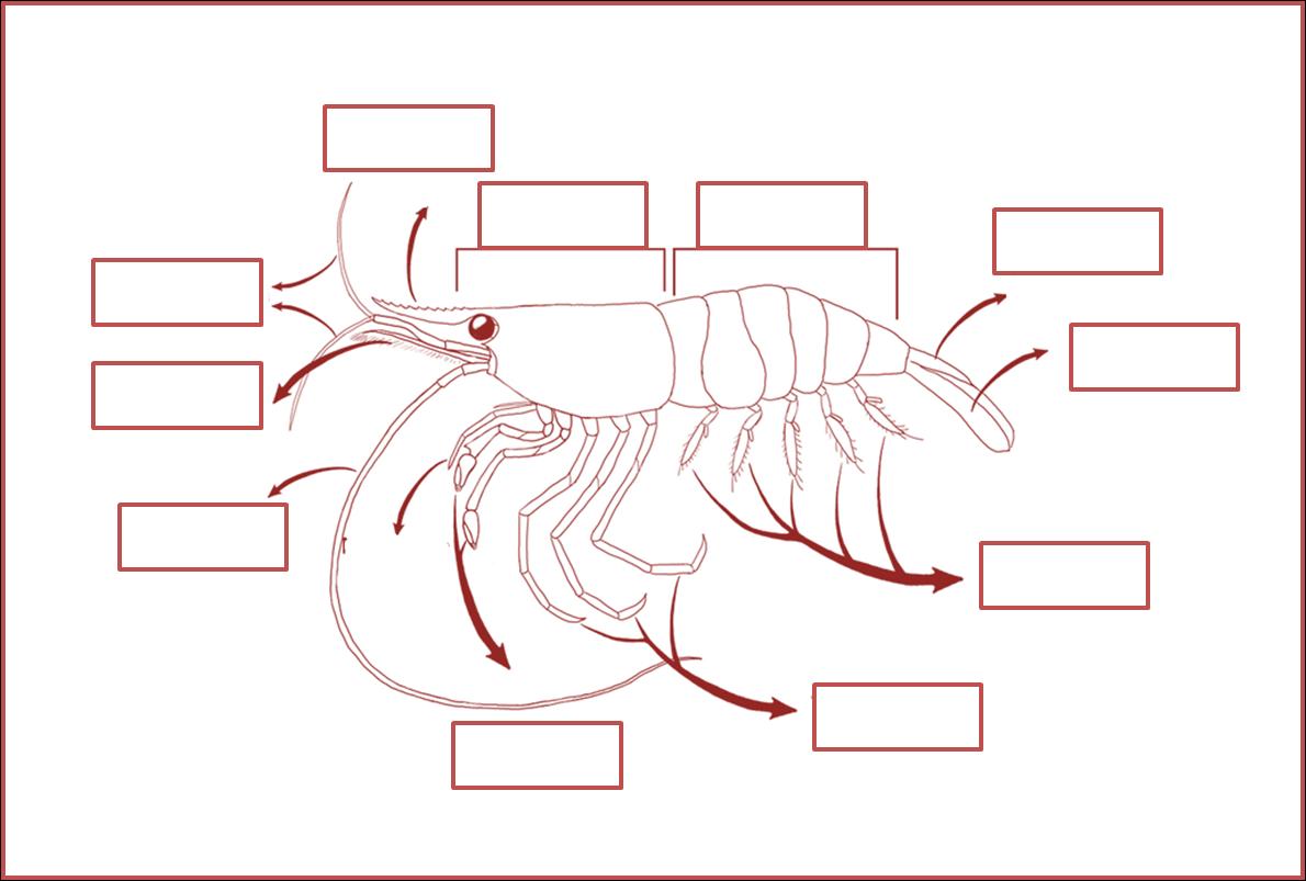 Cultivo de Crustáceos, cultivo de camaron : Biología