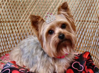 The Healthy Dog: Yorkshire Terrier Valentine's picture
