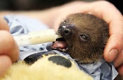 Teddy bear helps keep baby sloth alive