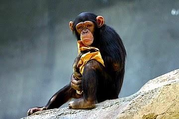 Chimp Has No Human Rights, Court Decides