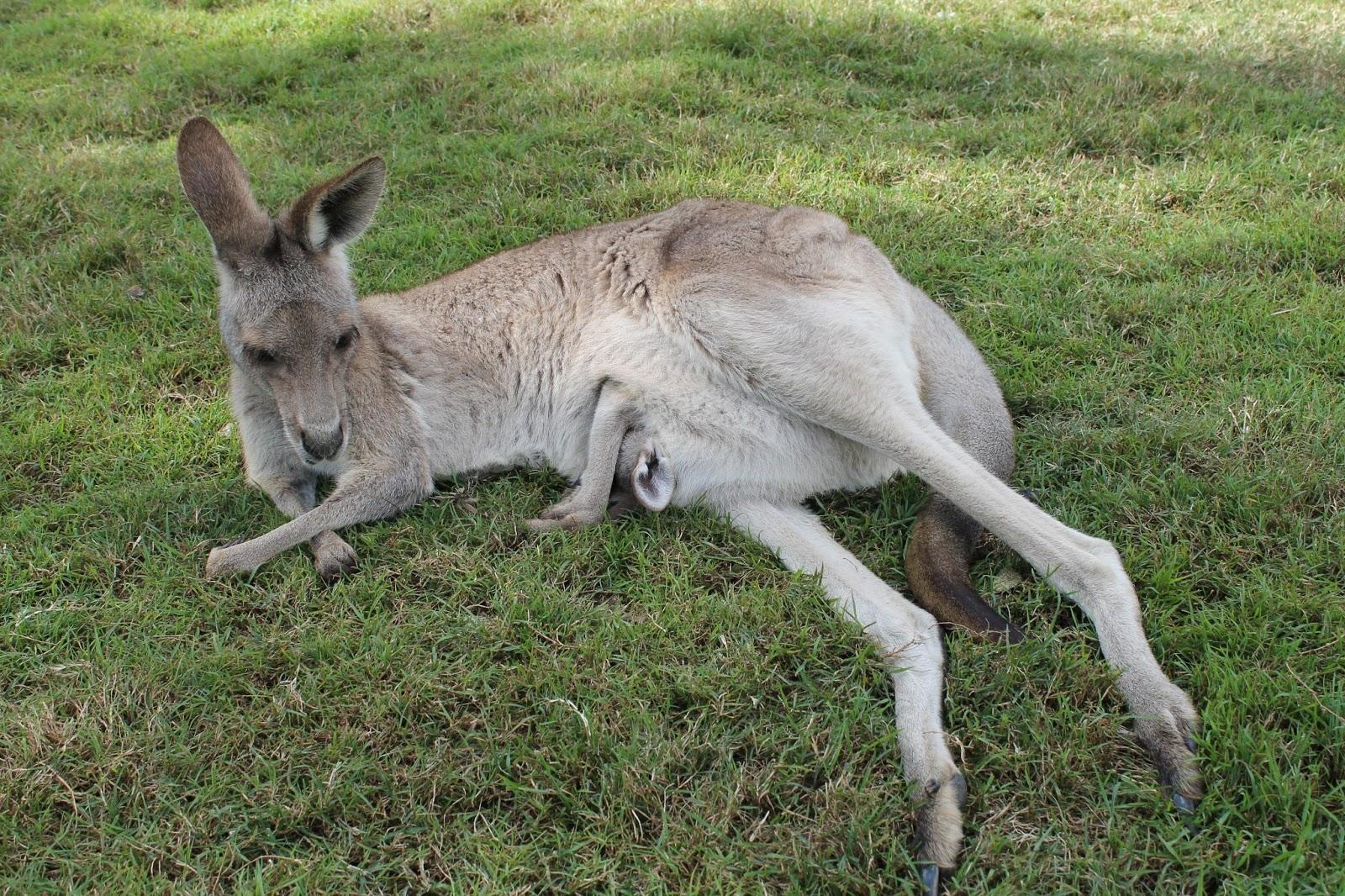 hvad spiser kænguruer