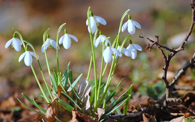 Foto met witte sneeuwklokjes in de lente