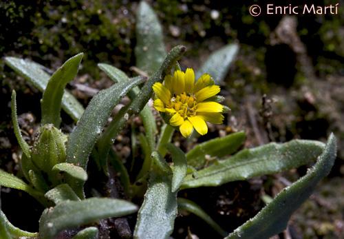 Fotos De Flores Calendulas - Para qué es buena la caléndula :: Propiedades de la