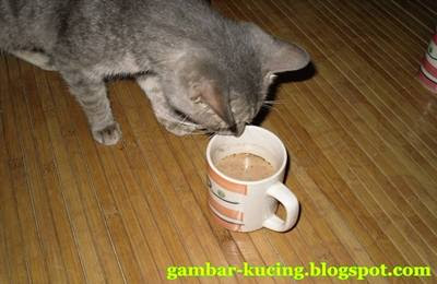 gambar kucing nak minum