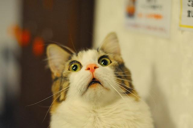 Surprised cat scared.