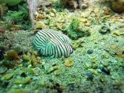 Striped Dumpling Squid resting on the ocean floor