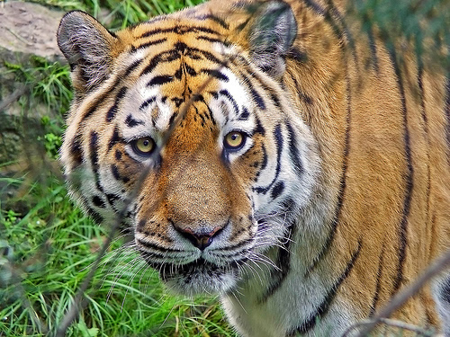 our national animal tiger T he 'national animal of india' is the tiger it is the symbol of india's wealth of wildlife it has a strong body which is brownish with black stripes on it it has a long tail.