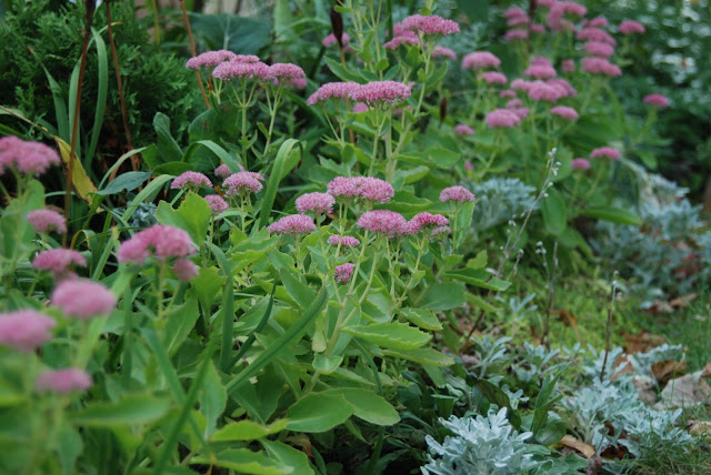Sedum 'Autumn Joy' blooms with artemesia