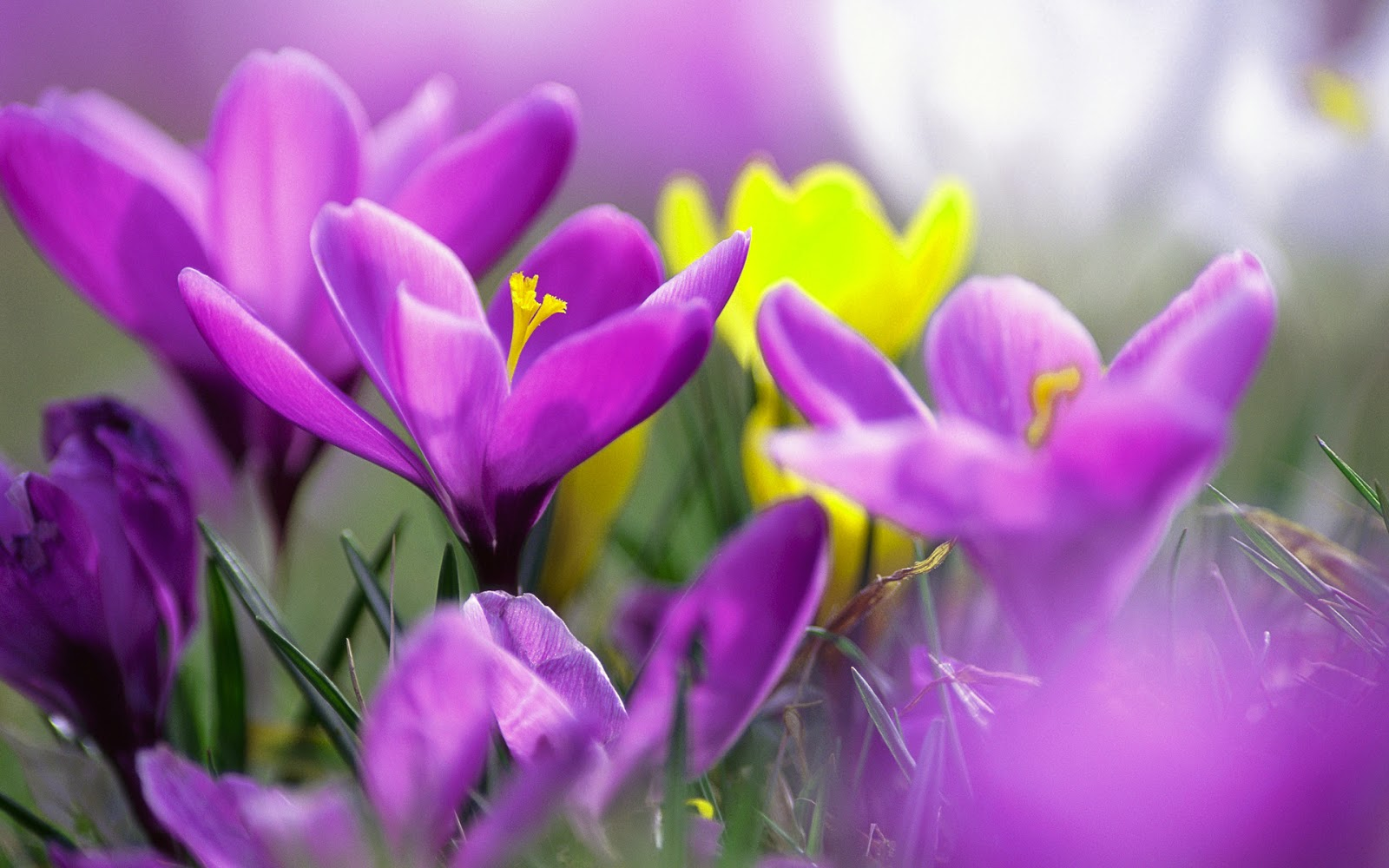 purple_crocuses_flower wallpaper
