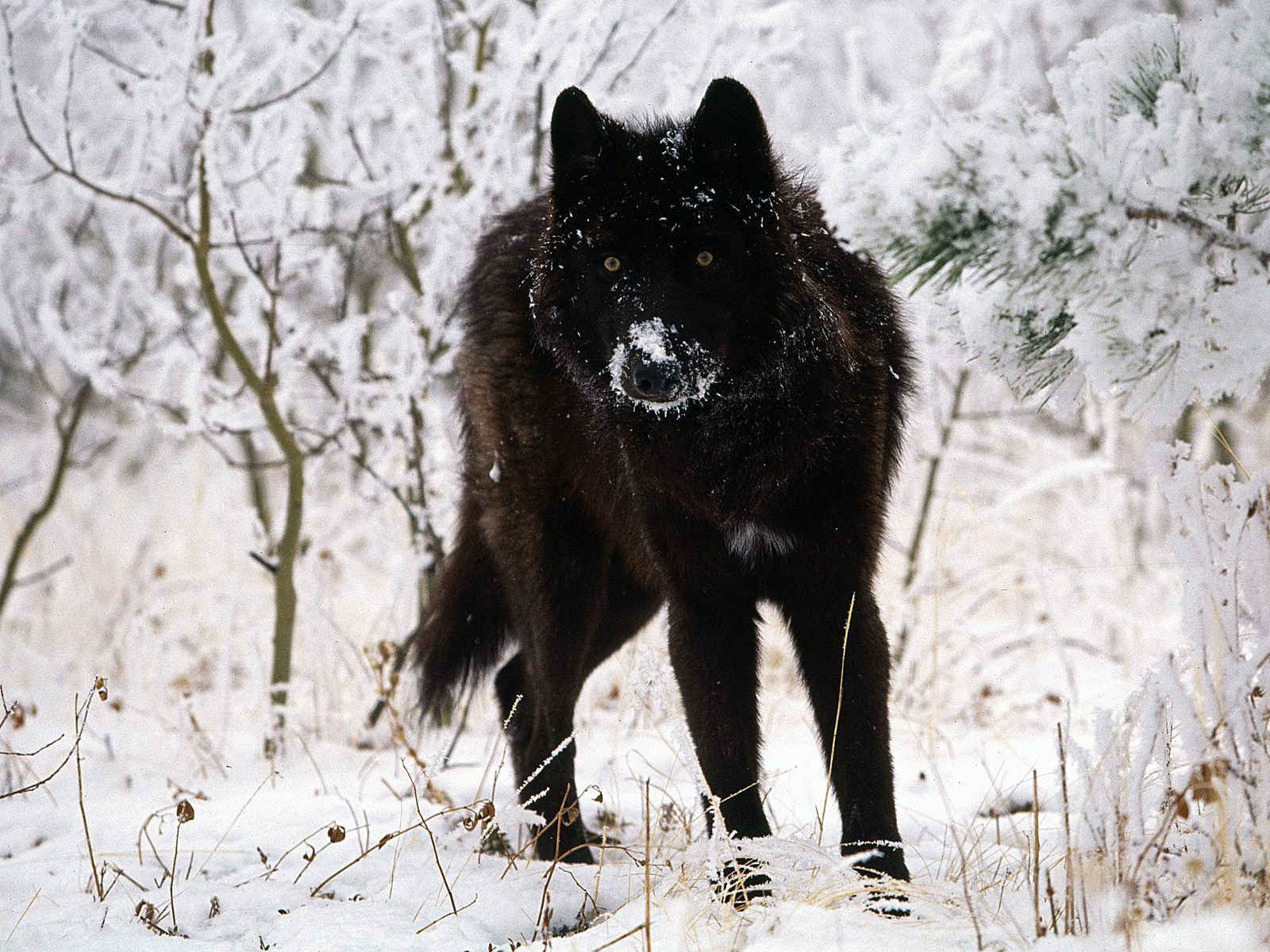 Black Wolf in Snow Facts And Photos