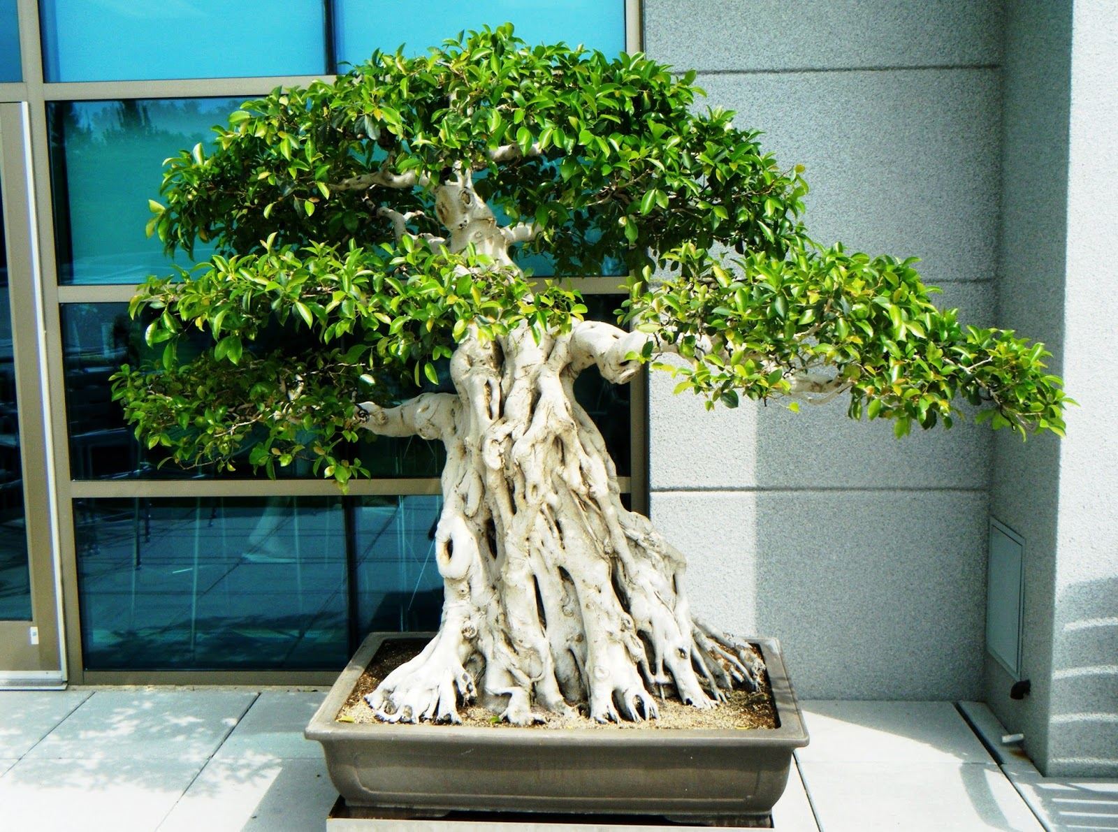 Bonsai In Hoosierland November 2015