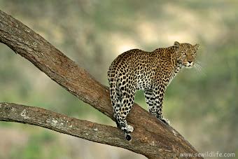 MACAN TUTUL AFRIKA (africa leopard)