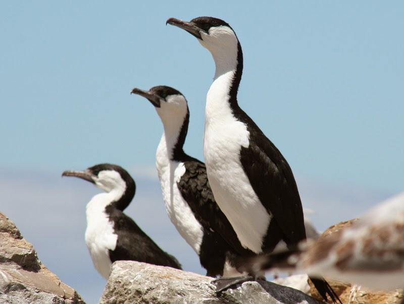 bo629hr  darter  cormorants  pelican  gannets