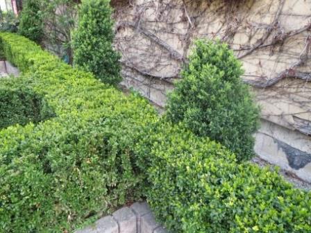 giftige Pflanzen-Buchbaum