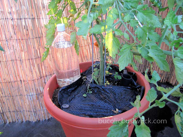 Diy soda bottle drip irrigation bucolic bushwick a brooklyn rooftop vegetable garden - Diy drip irrigation systems ...